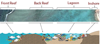 Role of Kyphosus spp in reef ecosystems