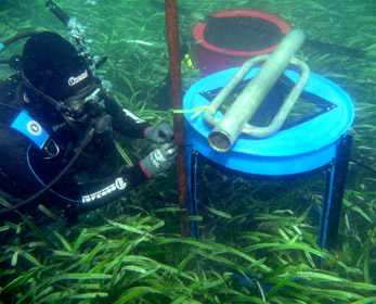 A diver establishes an experimental treatment to exclude grazers from a nutrient-enriched plot of seagrass meadow.